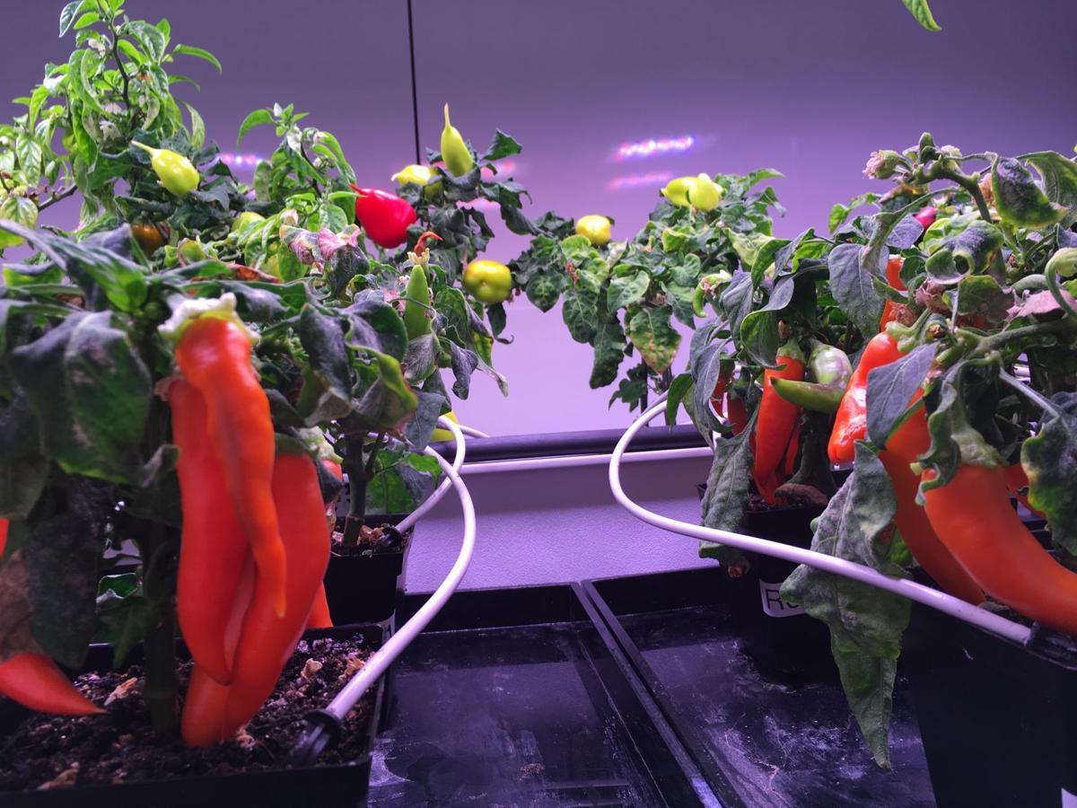 7/26/19 NASA chili peppers