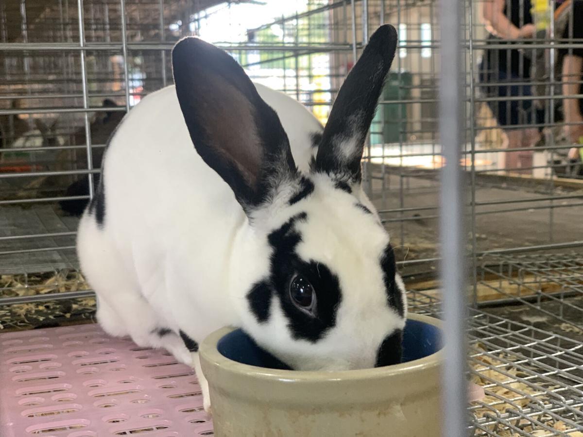 Tippecanoe County 4-H Fair Monday, bunny