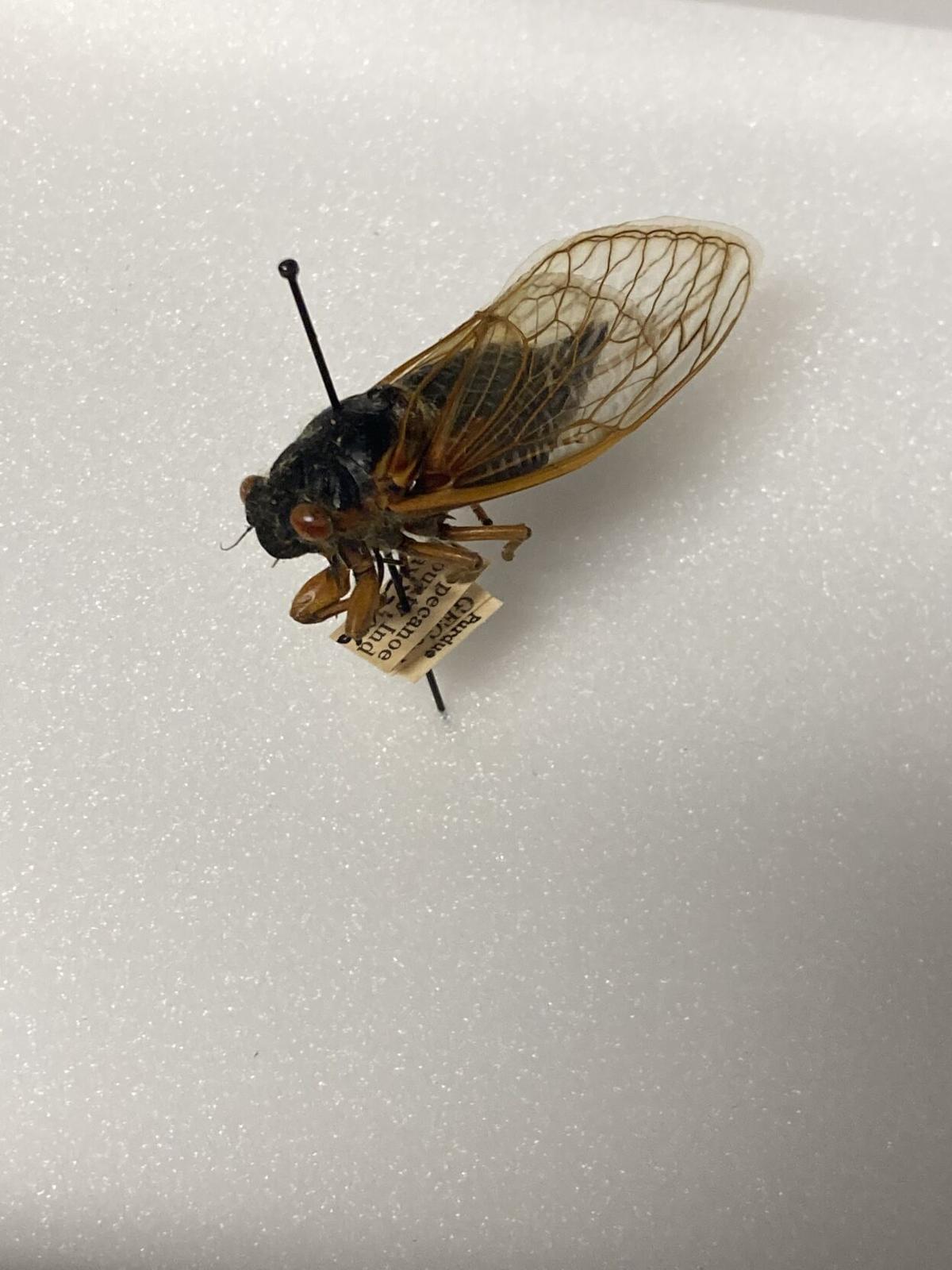 6/2/21 Brood X cicada