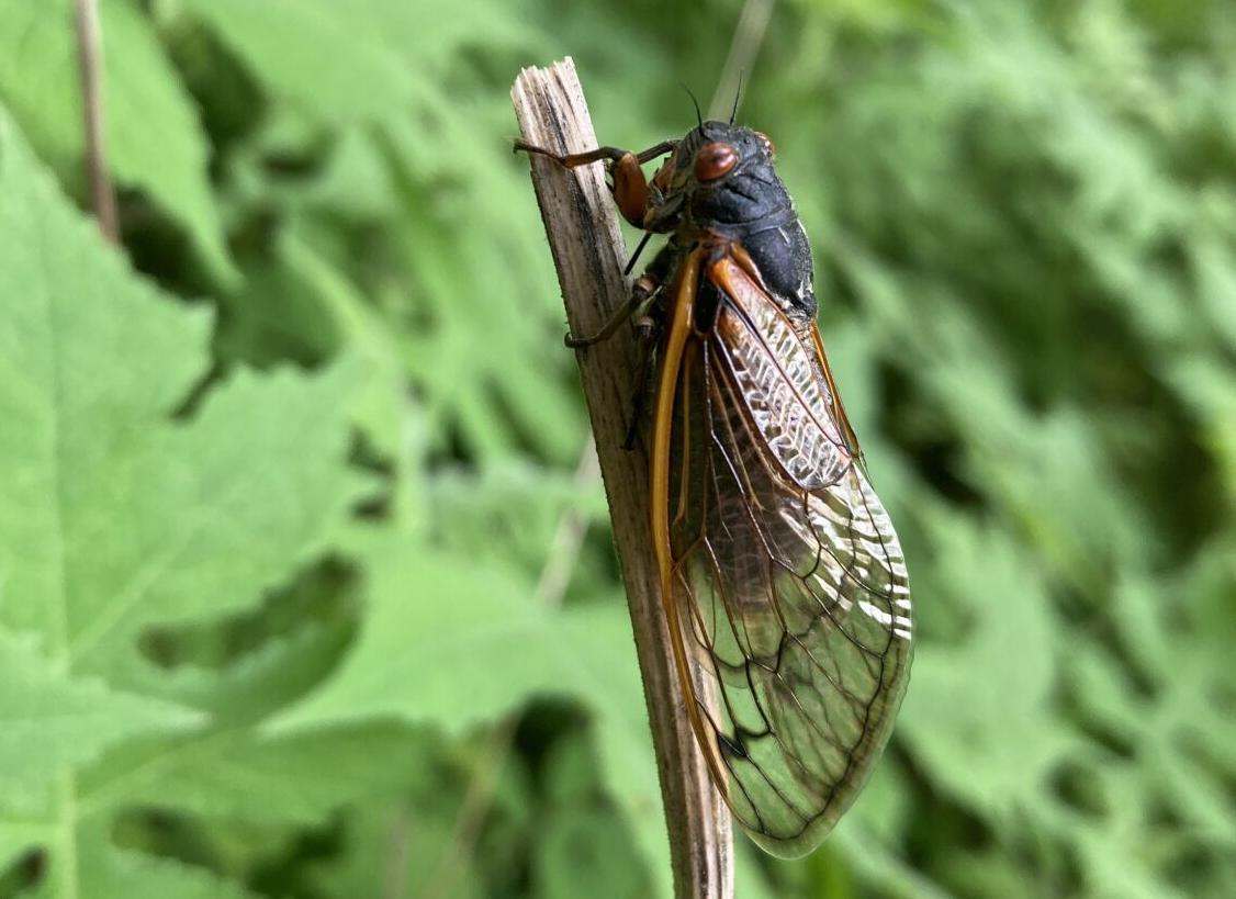 5/31/21 Martell Forest Cicadas