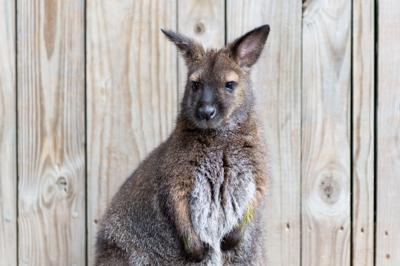 10/3/20 Zoo Animals, Wallaby