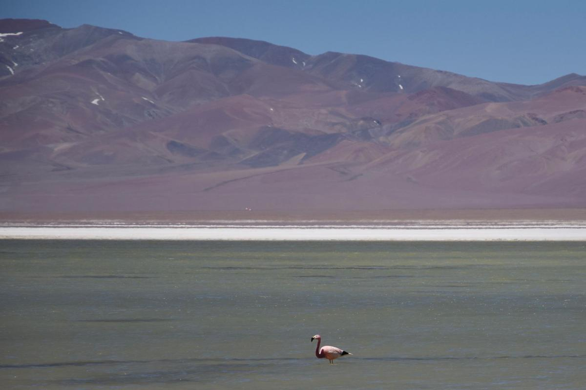 The Andean flamingo is one of the rarest flamingos in the world.