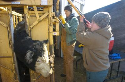 'Crying need' for more veterinarians trained in livestock