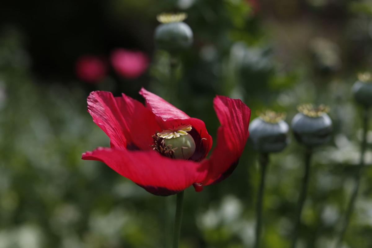 Mexican Opium Farmers Expand Plots To Supply Us Heroin Boom