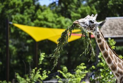 060619-mda-nws-giraffes-9.jpg