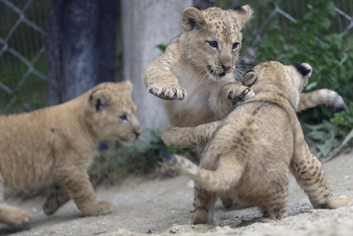 APTOPIX Czech Republic Rare Lions