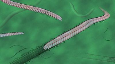 550-million-year-old worm
