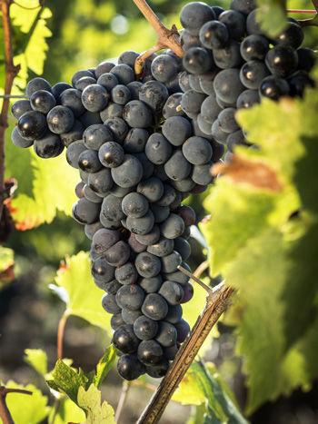 ilpoggion3 - sangiovese grapes.jpg