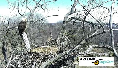 Dc Bald Eagle Falls Out Of Nest Report