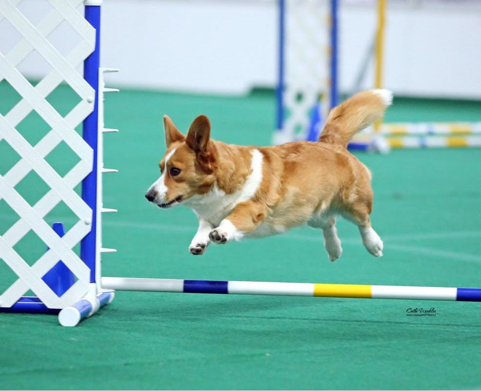 Geneseo corgi honored this weekend in Orlando