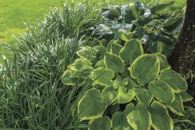 Happy hostas: Master gardener talks plants and gardening help