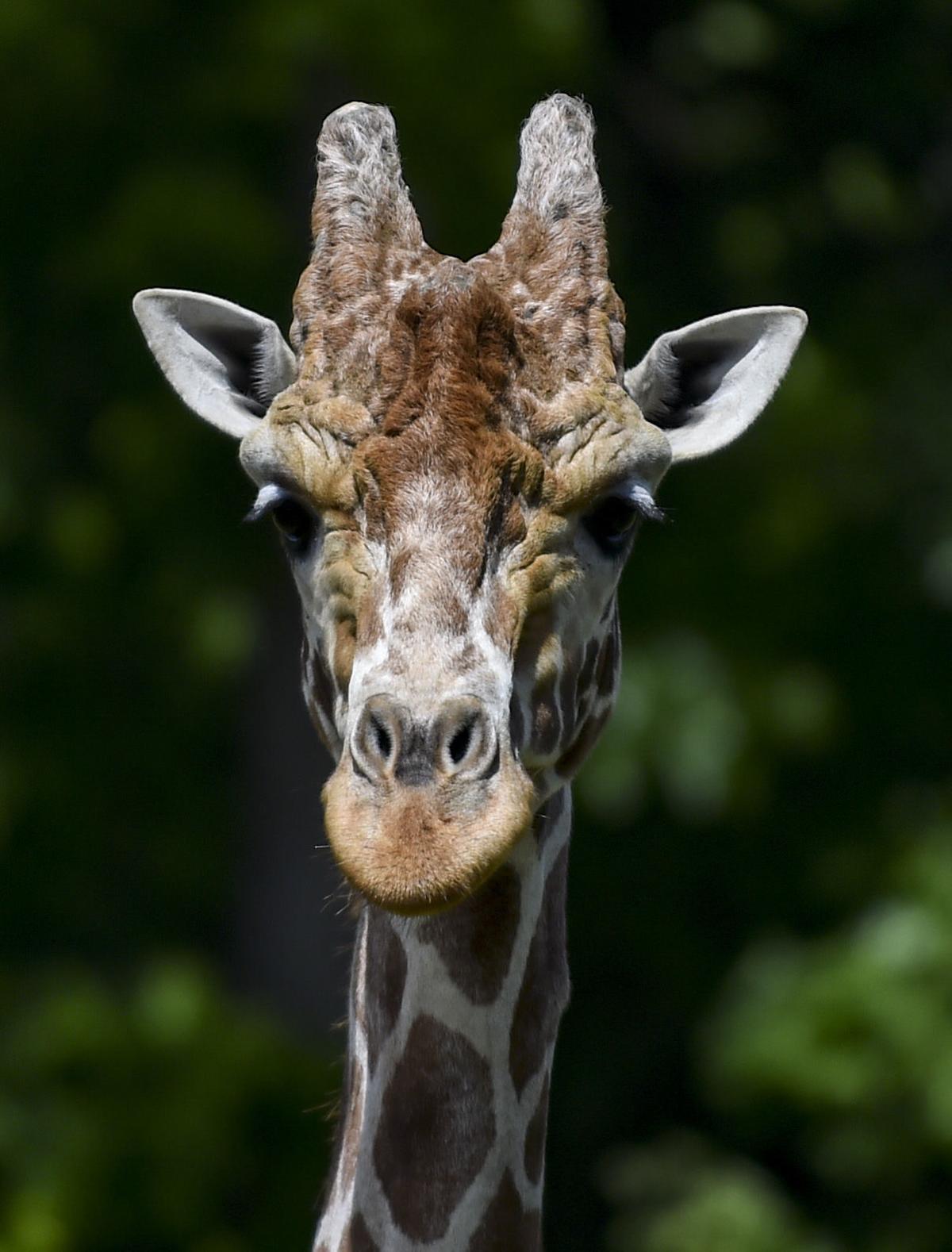 060619-mda-nws-giraffes-7.jpg