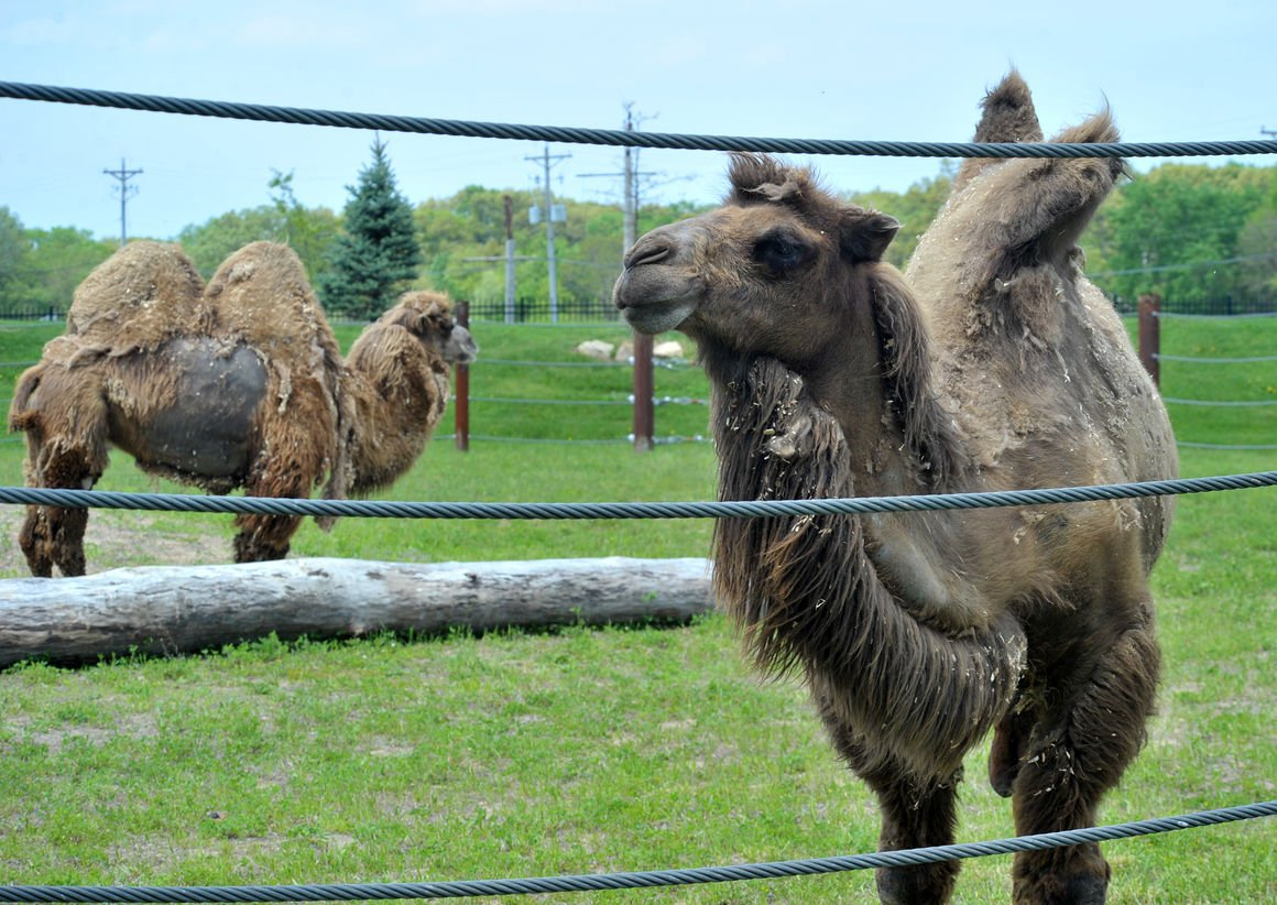 Two Hump Day At Niabi Zoo Gets New Camels
