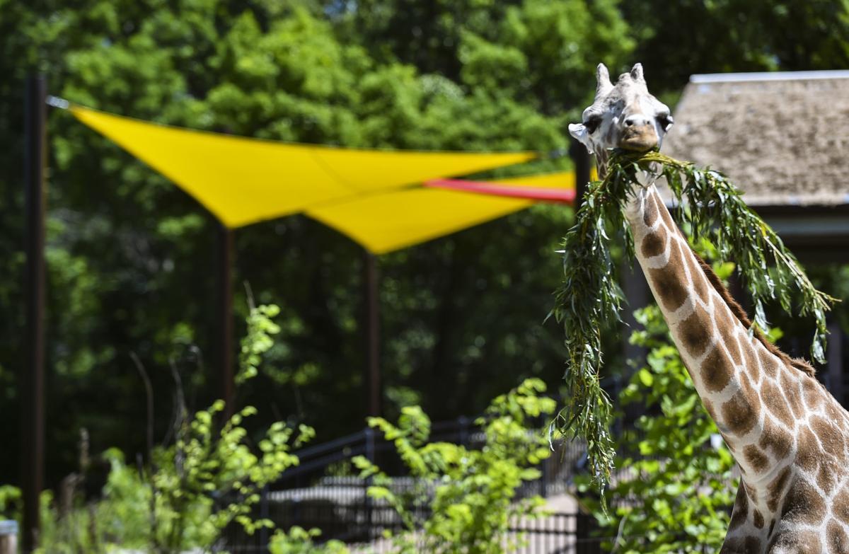 060619-mda-nws-giraffes-6.jpg