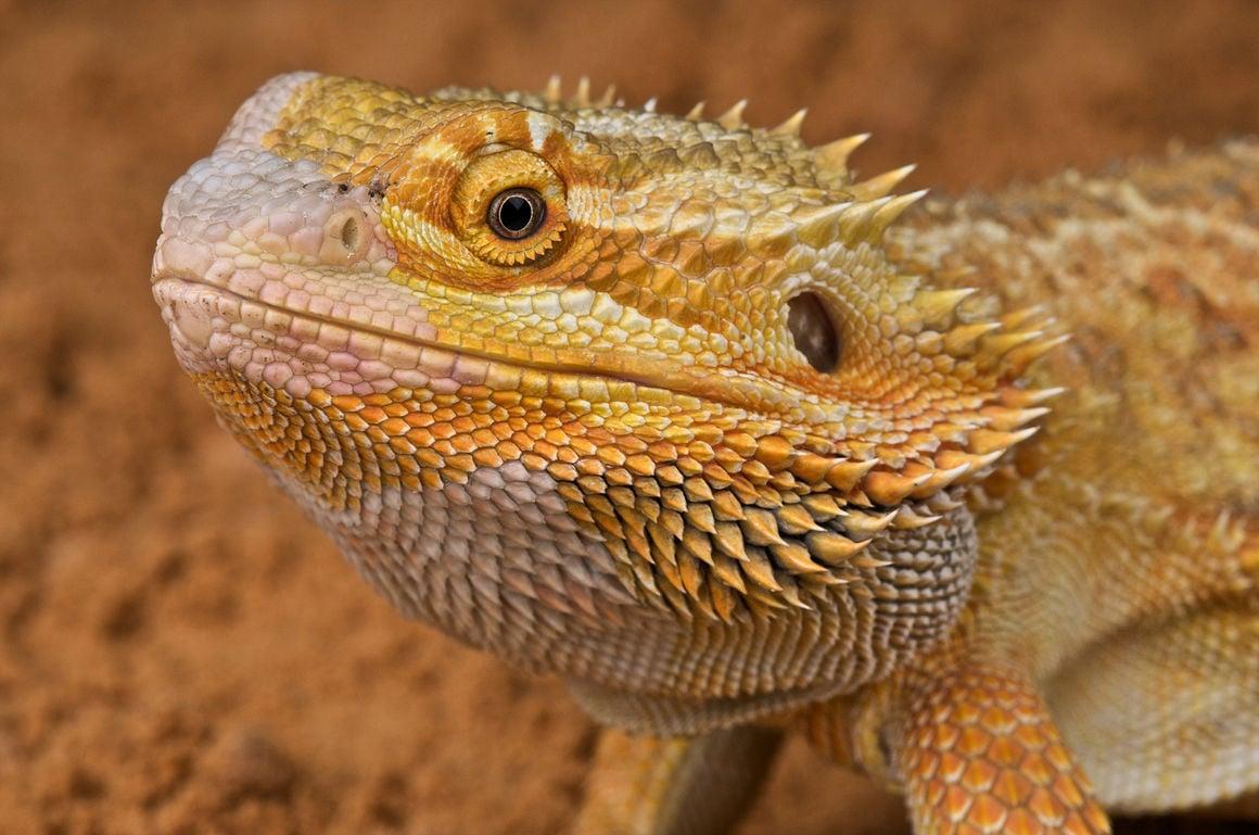 Pet Vet: His bearded dragon lizard no longer wants to eat ...