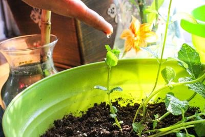 A student watering her plant