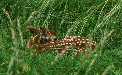 Young Fawn in Tall Grass