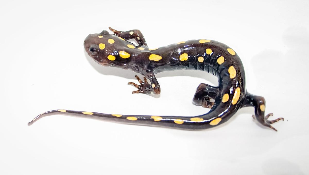 wildSpottedSalamander-27-w-story.jpg