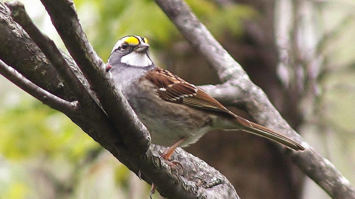 Male White-throated Sparrow