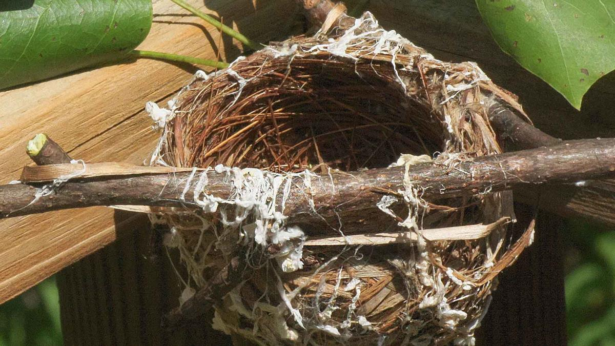 Empty Red-eyed Vireo nest found in Tuliptree cut down in back of the Johnsons' house