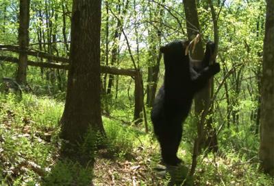 Black Bear Cam Photo