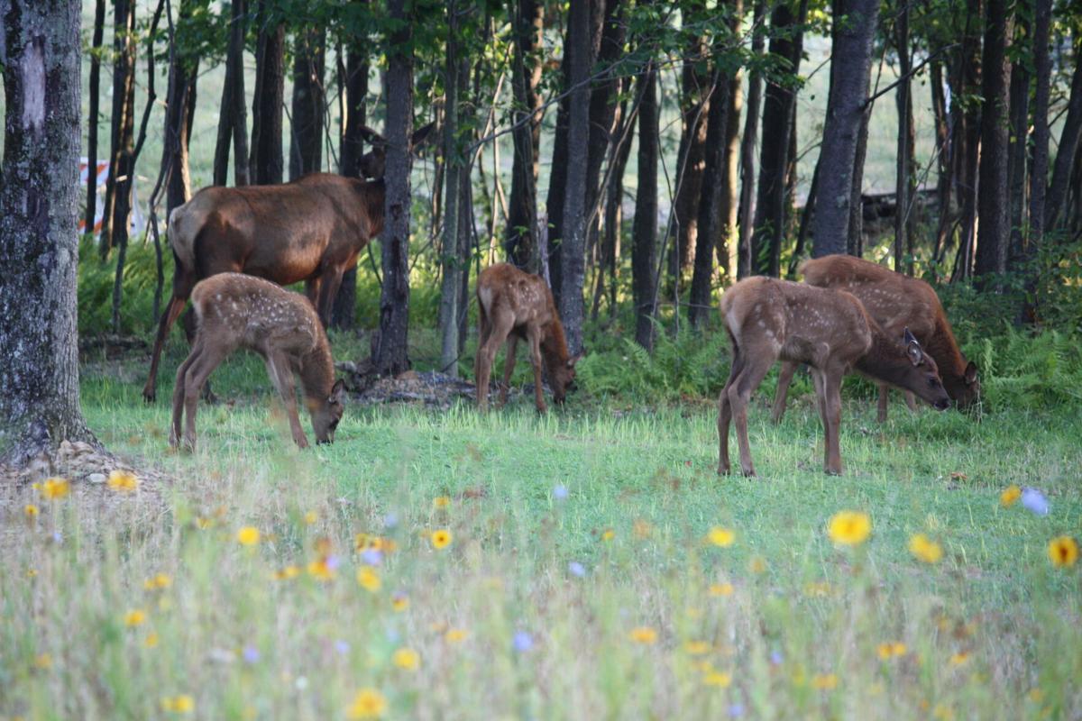 4 elk calves Carla Wehler.jpg
