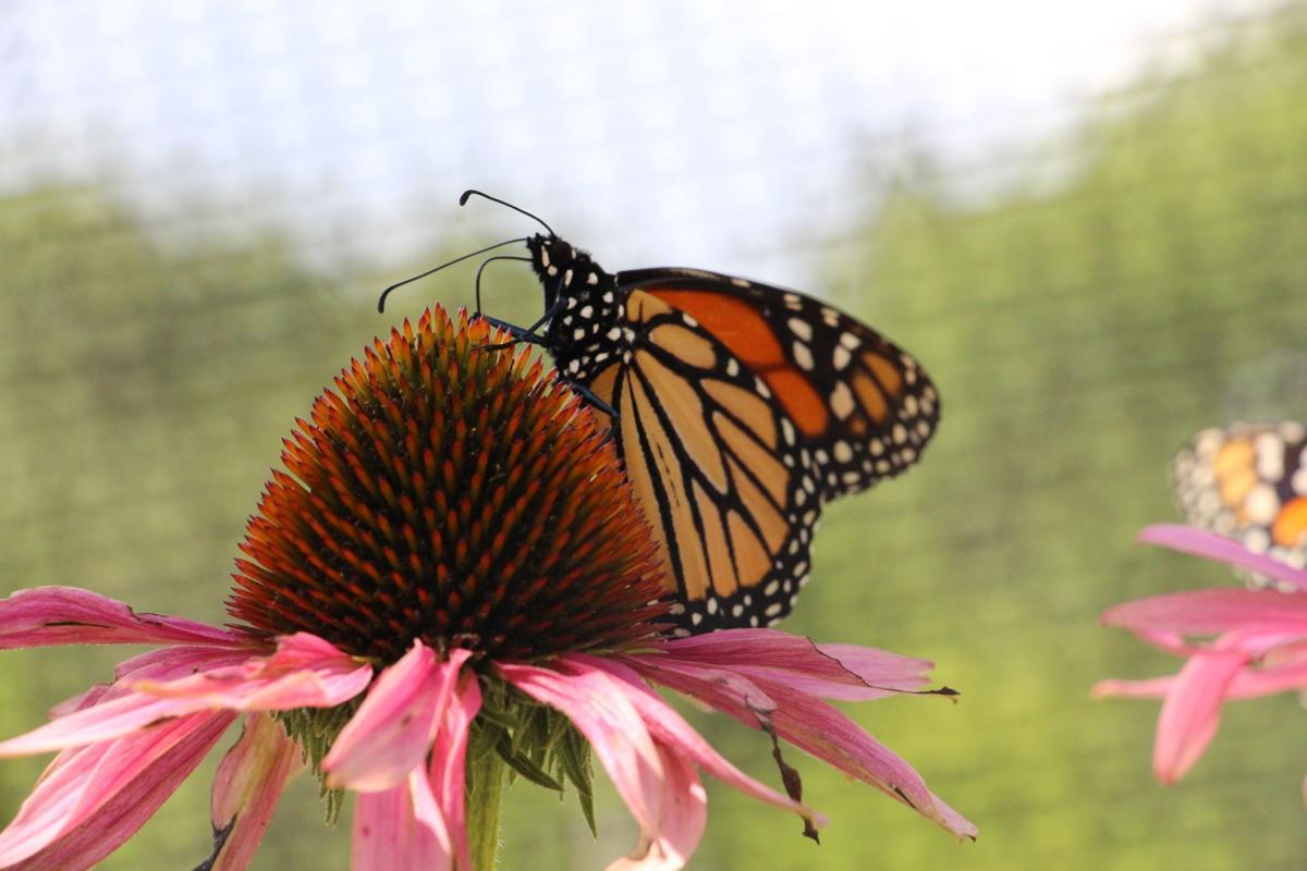 19-06 Wytheville BR Butterfly.jpg