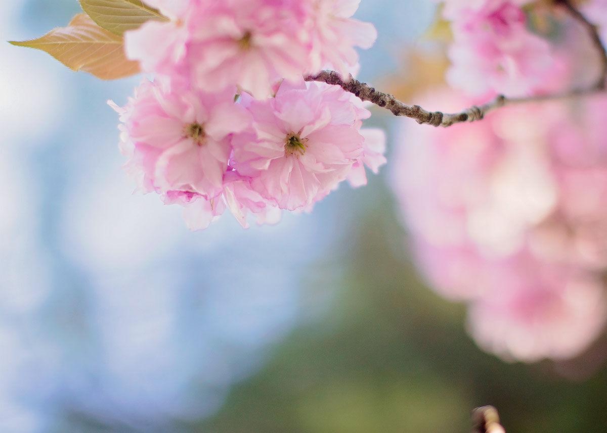 Howard-County-Cherry-Blossoms-2.jpg