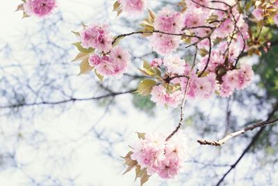 Howard-County-Cherry-Blossoms-1.jpg