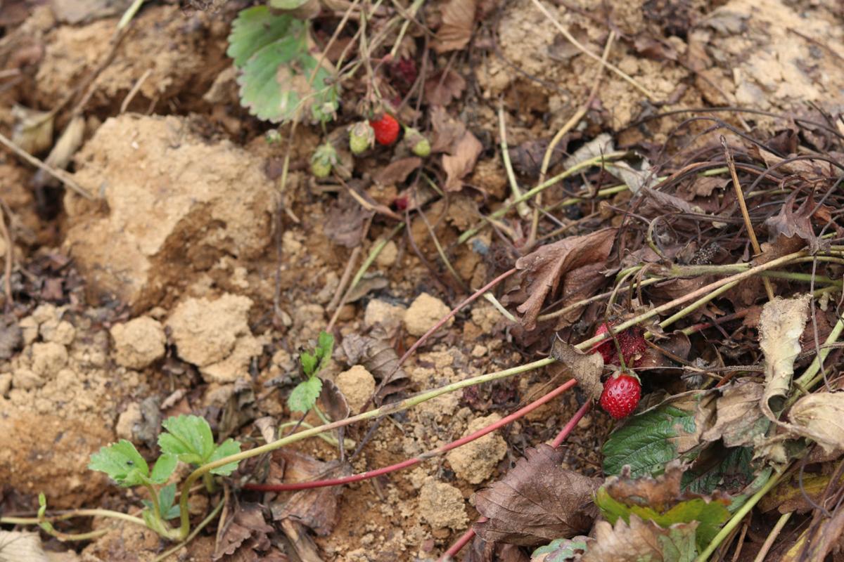 Washington Farms strawberries