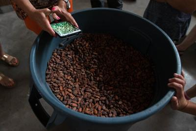 Condor Chocolates cacao seeds