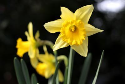 200110_ems_daffodils_0021.JPG