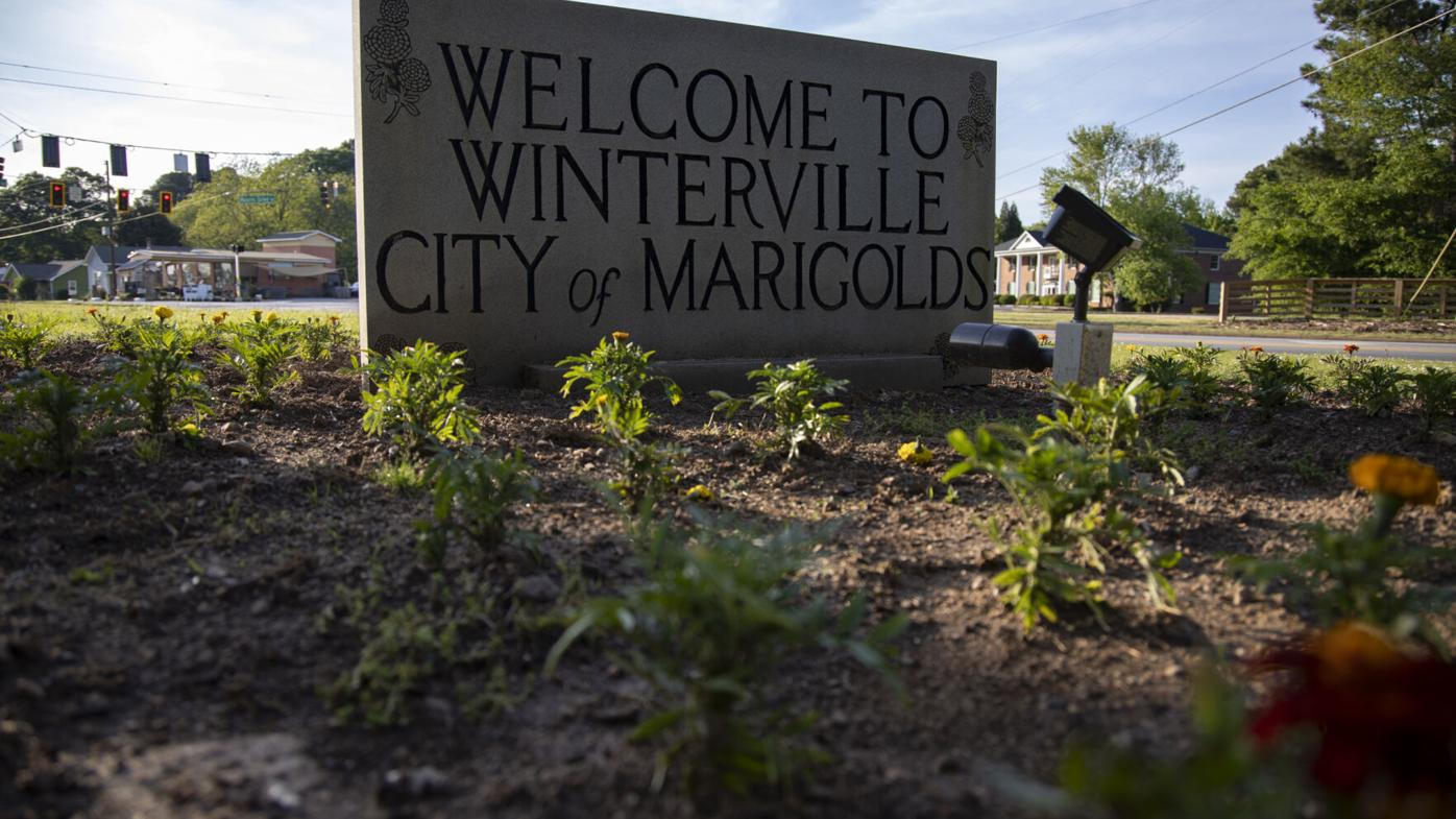 PHOTOS: Winterville prepares to host annual marigold festival