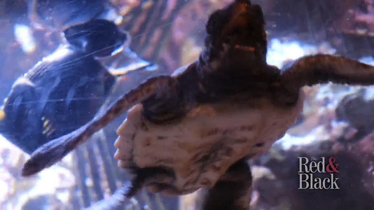 Video Sandy Creek Nature Center Fosters Rescue Baby Sea Turtle Multimedia Redandblack Com