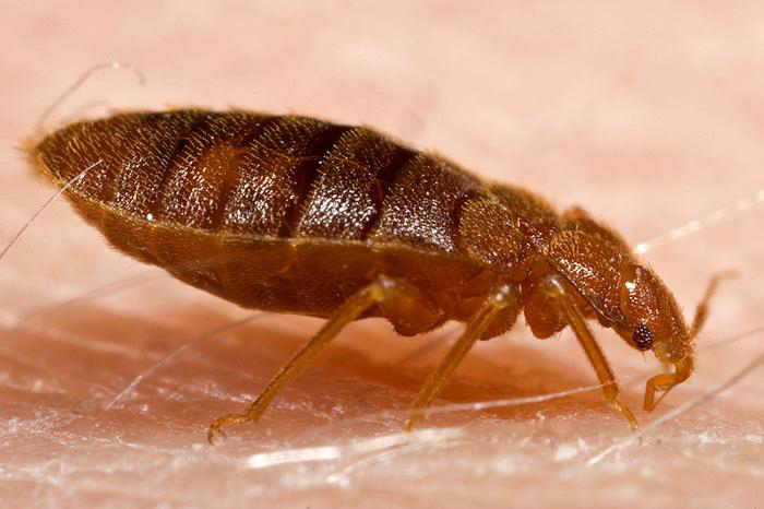 Bed bugs sexually transmitted disease