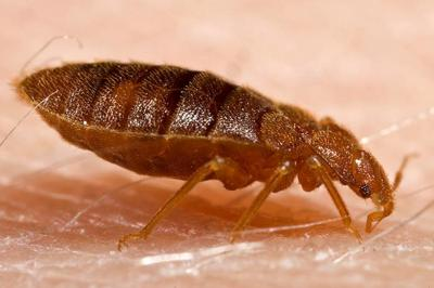How To Get Rid Of Blood Sucking Bed Bugs News Redandblack Com