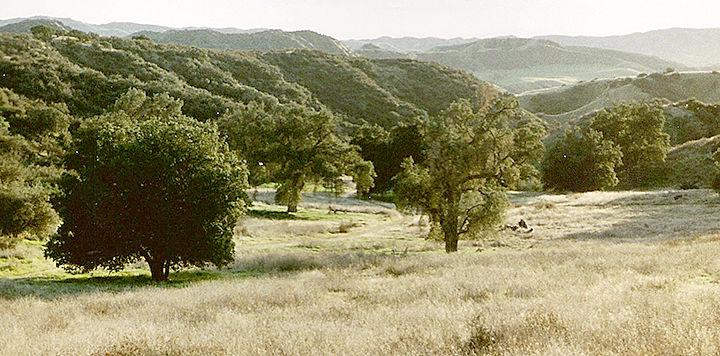 Oaks in Live Oak Canyon