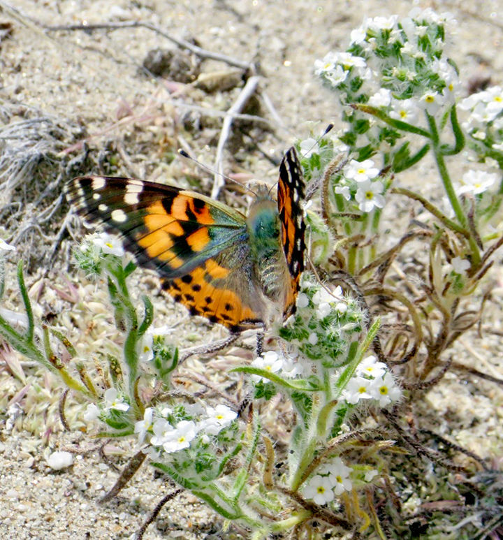 A Painted Lady in Anza Borrego State Park.