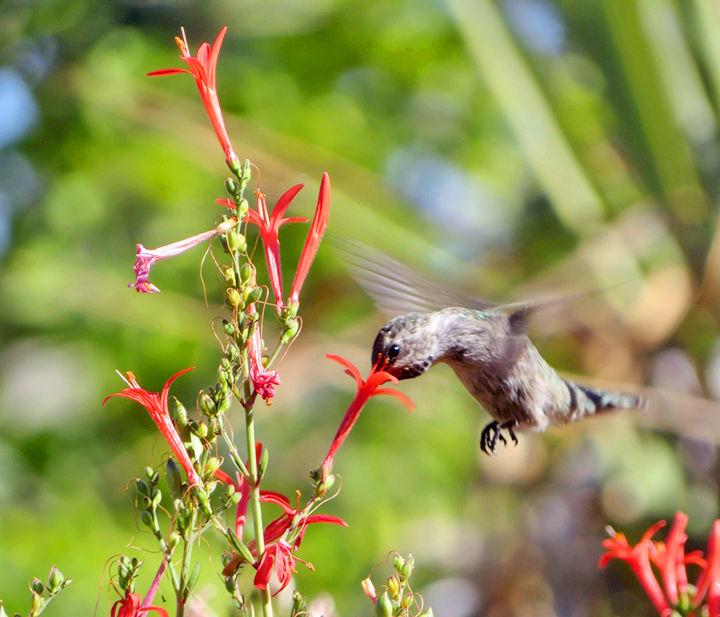 Anna's hummingbird feeding in Linda Richard's front yard. A hummingbird feeds in the front yard.