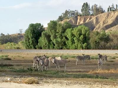 Burros in San Timoteo Canyon