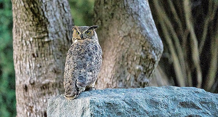Great horned owl seen near Hillside Memorial Park