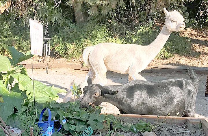 A black goat and an alpaca.