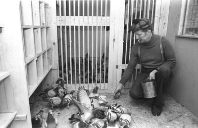 Feeding racing pigeons