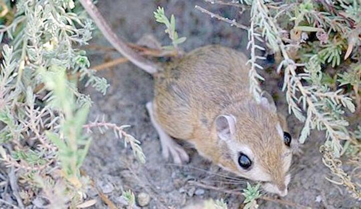 San Bernardino kangaroo rat