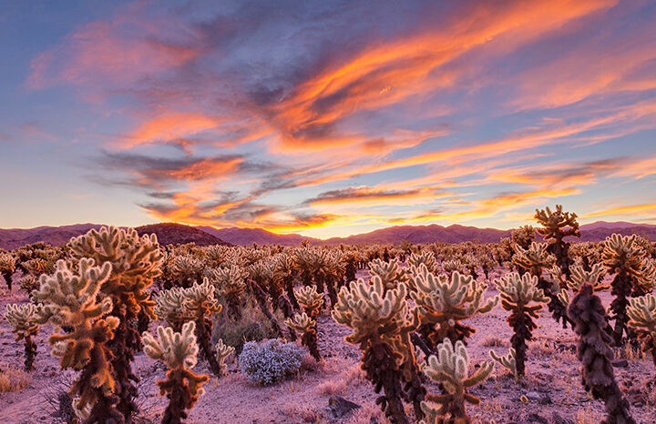 """An amazing sunset at the Cholla Cactus Garden in Joshua Tree National Park."""