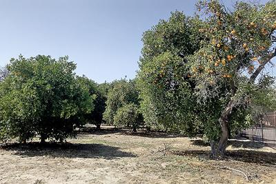 An orange grove stands next to the San Bernardino County Museum in Redlands.