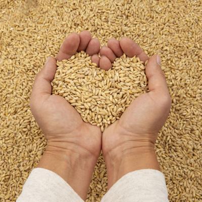 Hands holding barley grain in a heart shape