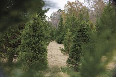 Mississippi reacts to a nationwide Christmas tree shortage