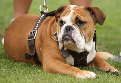 A Bulldog Icon MSU Cherishes Mascot Jak