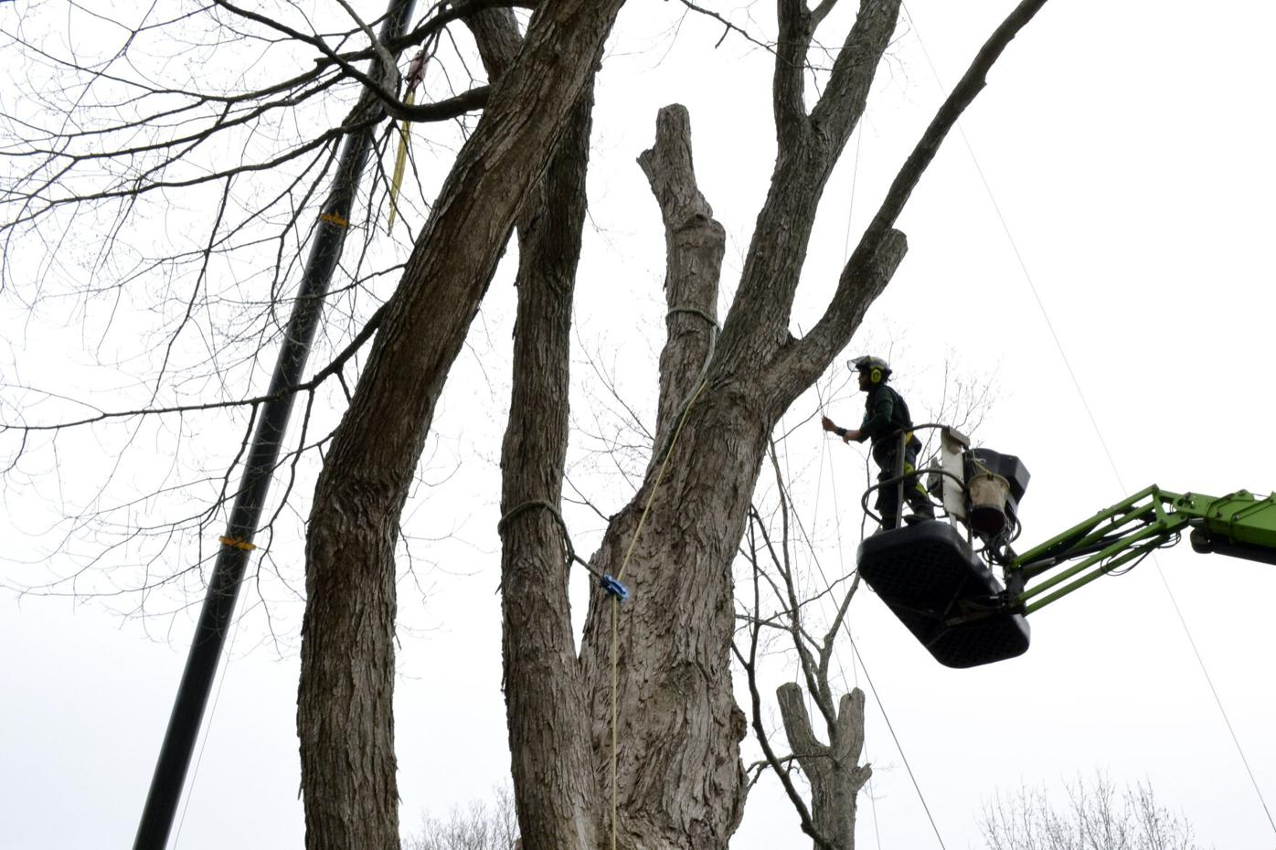 Big Tree No More